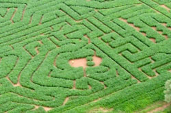 Photo of part of a Giant Maze at Elton taken from a microlight aircraft